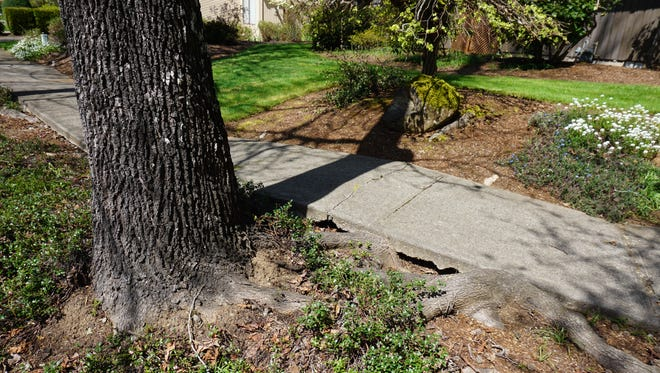 Roots from a sweet gum tree are damaging sidewalks in a South Salem neighborhood.