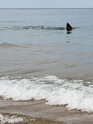 A white shark just off Race Point Beach in Provincetown over Labor Day weekend.