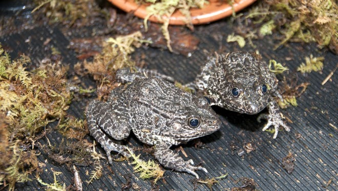 The dusky gopher frog.