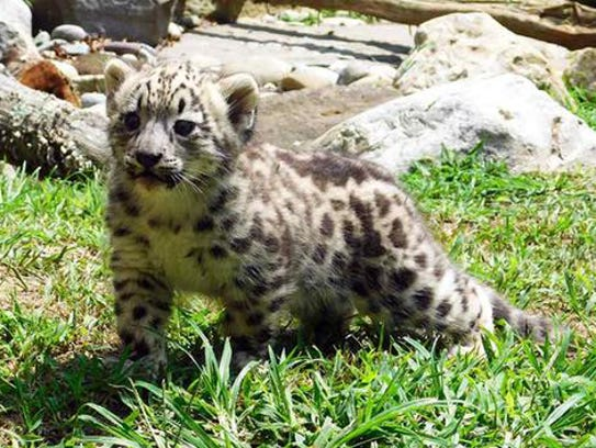 A snow leopard cub from the Cape May County Zoo has