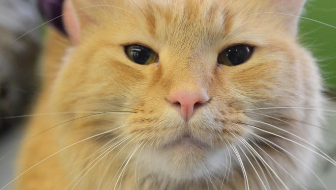Alex is available for adoption through Furry Friends Rescue at Pet Supplies Plus in South Lyon.