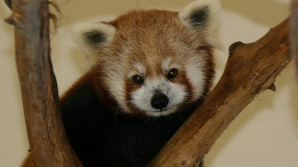 The Jackson Zoo's red panda Pai gave birth to two cubs June 12.