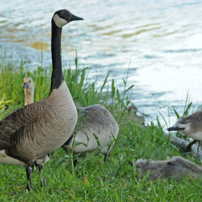 Canada geese, white-tailed deer, wild turkeys and black
