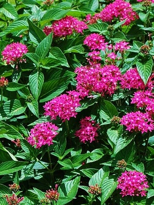Cutting gardens are those planted for the specific purpose of cutting blooms or foliage for arrangements. They can be planted with annual or perennial plants, or both and may be seasonal or planned for blooms throughout the year. Pentas are a good choice for cutting and butterfly gardens.