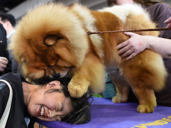 Candace Chien plays with a Chow Chow in the benching