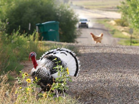 A turkey crosses County Road 4025 on Wednesday near
