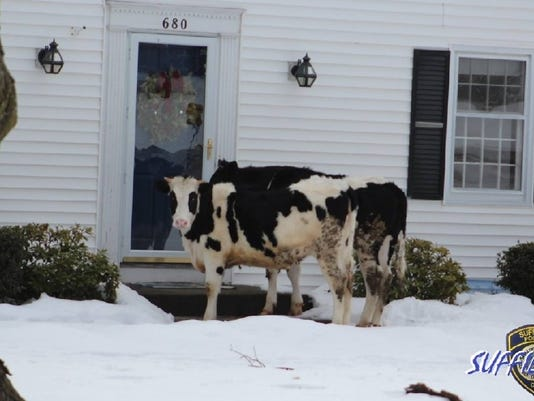 636232603653774674-41f4029c-6869-428b-a822-764f58cde7b0-large16x9-suffieldpdcows.jpg