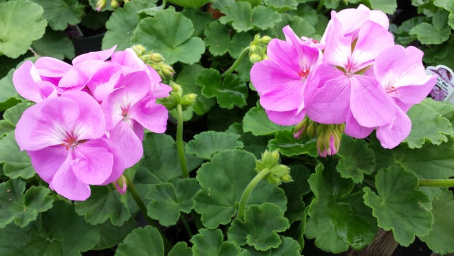 In winter, place geraniums in a cool, bright spot and let dry out between waterings.