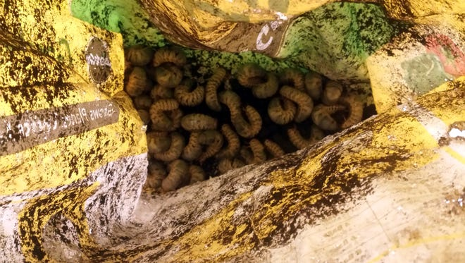 Coconut rhinoceros beetle larvae are found in a bag of potting soil.