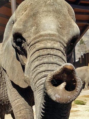 This undated photo provided by the Hogle Zoo in Salt Lake City shows Dari the African elephant. She was euthanized at the zoo Saturday, Aug. 8, 2015, at the age of 55, after being in declining health for months. Zoo officials say she was the oldest African elephant in North America, and had outlived the average life expectancy of African elephants in the wild, which is 42 years.