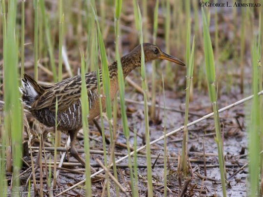 This King rail, the largest North American waterbird, is one of the many inhabitants of the property managed by Delaware Wild Lands.