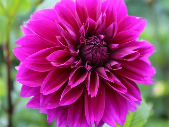 Thomas Edison dahlias grew up to 4 feet tall.
