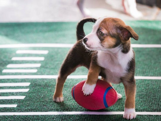Sanctuary Brewing Company is hosting its annual Puppy Bowl pre-Super Bowl on Feb. 5 with puppies from Blue Ridge Humane Society.