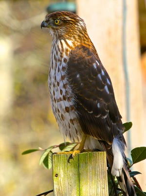 This March 18, 2013 photo shows a Cooper's Hawk, an uninvited visitor who arrived at a residence shortly after some songbirds responded to birdcall playback from a smartphone in Langley, Wash. These hawks frequently hunt smaller birds that flock to home feeders. (AP Photo/Dean Fosdick)