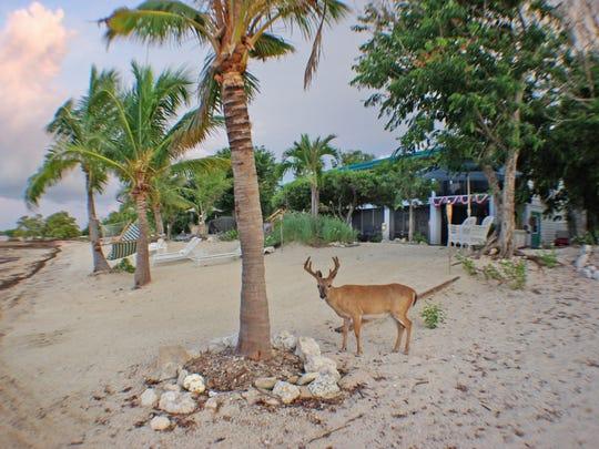 A Key deer buck passes through the grounds of Deer Run.