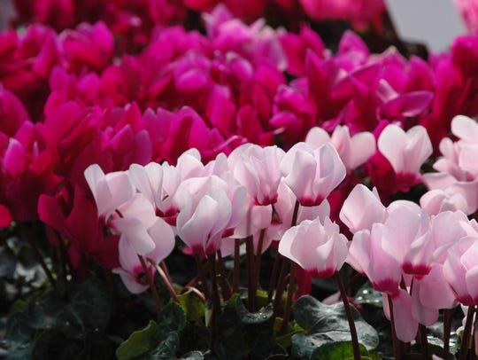 Cyclamen flowers come in all the traditional Valentine's