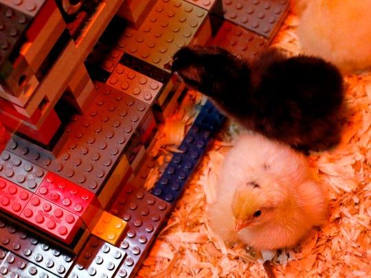 Several baby chickens have hatched at the Linebaugh