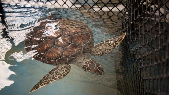 A rescued sea turtle in a holding tank at the Miami Seaquarium in Key Biscayne, Florida.