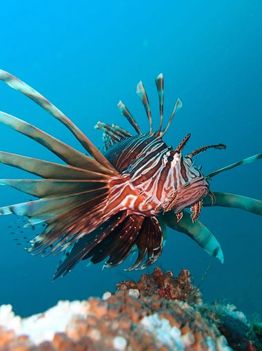 Lion fish photographed by Kim Brungraber in the Gulf of Mexico.  Dozens if not hundreds of these fish are often found by divers infesting local dive sites in the gulf.