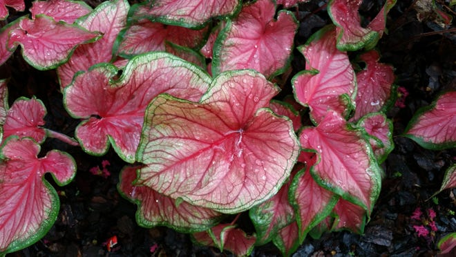 Caladium bulbs are best planted in shady areas.