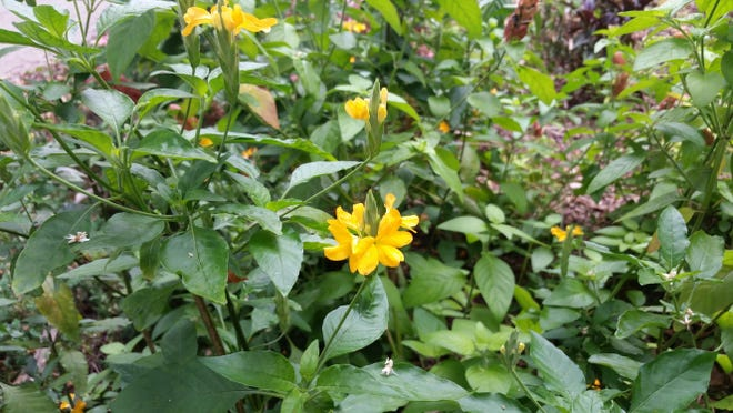 ABOVE: Crossandra, pictured here, grows well in shady areas.