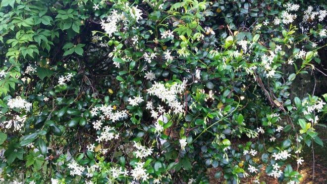 1. Confederate jasmine produces white flowers and can climb quite high into trees. 2. Rangoon creeper is shrubby vine that produces star-shaped flowers that come in a variety of colors ranging from white to deep red. 3. Angelwing jasmine produces white flowers from the spring through the fall.