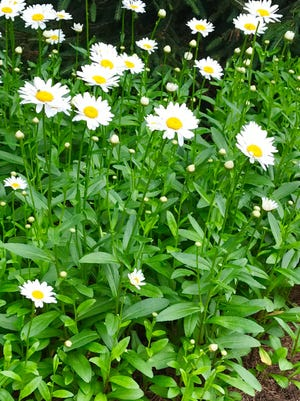 Marguerite daisies along the route walking to the author's mailbox.