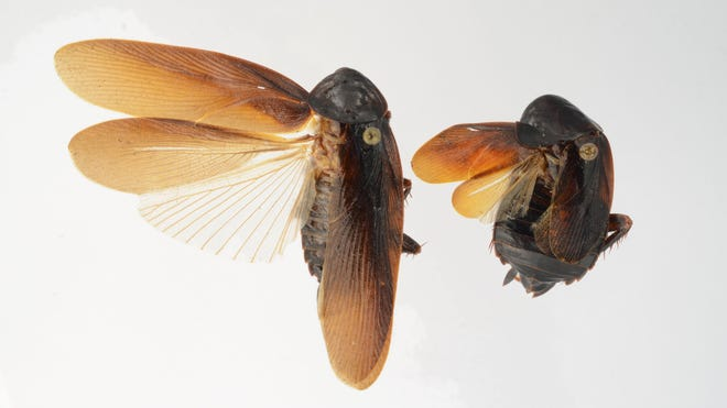 Both male, left, and female Periplaneta japonica are shown.