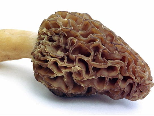 The famous morel mushroom, a staple of Hoosier diets