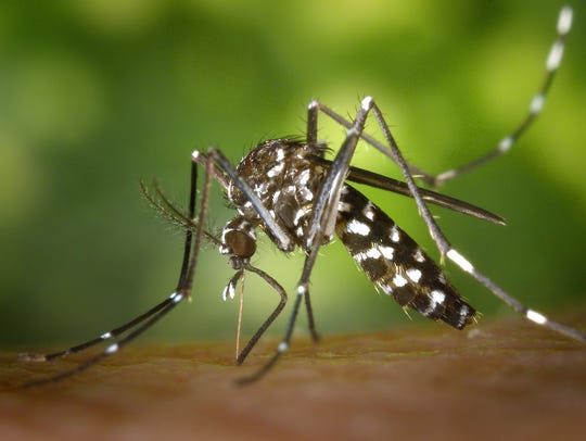 James Gathany/U.S. CDC The Aedes albopictus mosquito