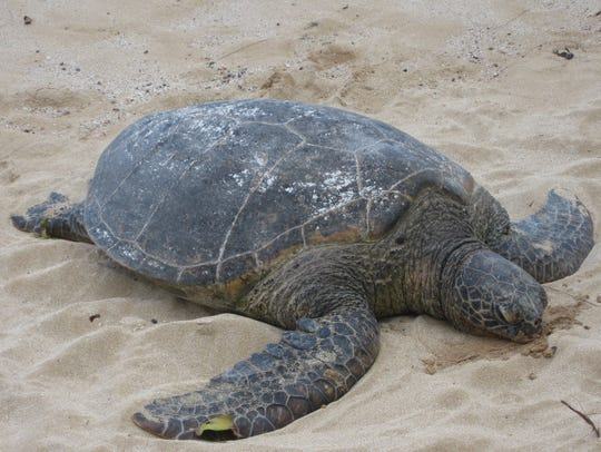 A sea turtle crawls on the shore of Oahu.