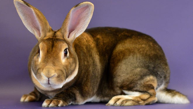 Rescue rabbit of the week: Chip