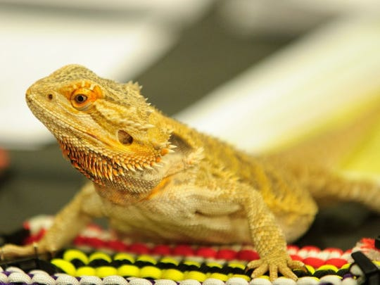 A Bearded Dragon has a look around at the Reptile Roundup, presented in partnership with the Tri-State Herpetological Society.