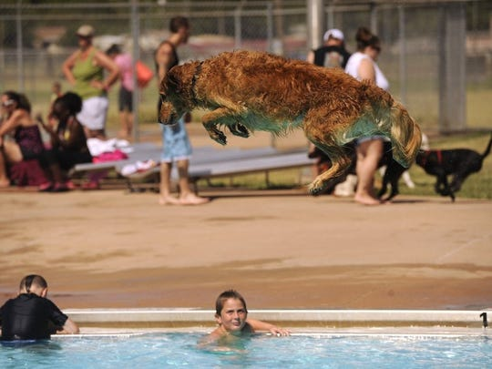 Thomas Metthe/Reporter-News Sonny, a 5-year-old golden retriever, jumps off the diving board into the pool during Doggie Splash Day 2016 on Saturday, July 30, 2016, at the Rose Park Swimming Pool.