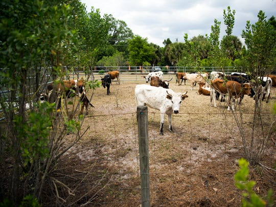 Cattle graze in a pen during the Celebrate Immokalee Festival, hosted by The Immokalee Pioneer Museum at Roberts Ranch in Immokalee on Sunday, March 26, 2017. The festival celebrates the rich history and traditions of the community and included a cattle drive, rides, carnival games and food.