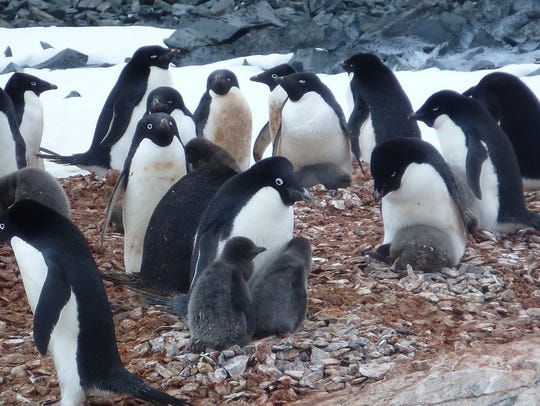 Adelie penguins are considered a climate change indicator