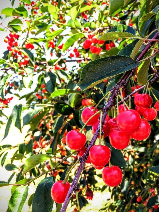 -DCA 0718 Door County Cherries.JPG_20150716.jpg