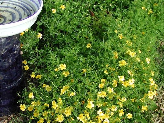 Gardening_Lemon_Gem_Marigold__chall@pnj.com_1