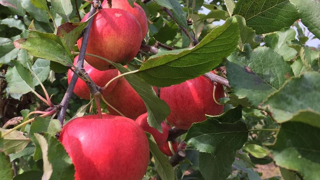 Apples grow at Nagog Hill Orchard in Littleton.