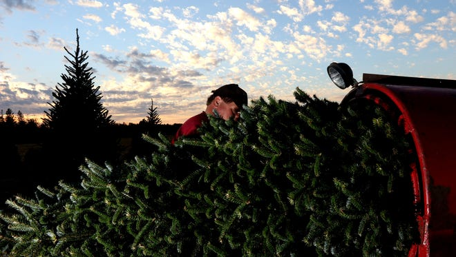 A tree is pushed through a baler Nov. 16 at the Wolosek Christmas Tree Farm south of Wisconsin Rapids.