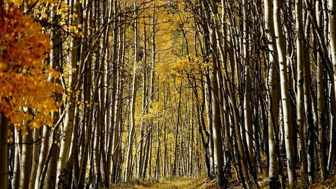 Fall colors are reaching their peak in Cripple Creek.