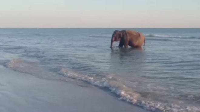 An elephant was seen taking a dip at Redington Beach over the weekend!