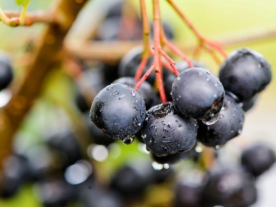 A cluster of aronia berries ripen on Adam Nemitz's