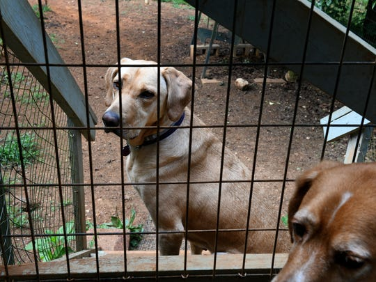 Two of Stephen Blackwell dogs. Blackwell, who owned Dogwood Daycamp kennel and fostering organization, died two weeks ago, after trouble with Roane County codes. Worried about losing his dogs, he killed himself. His sister Cat Blackwell is trying to carry on his rescue work and place some of the dogs Thursday, June 14, 2018.