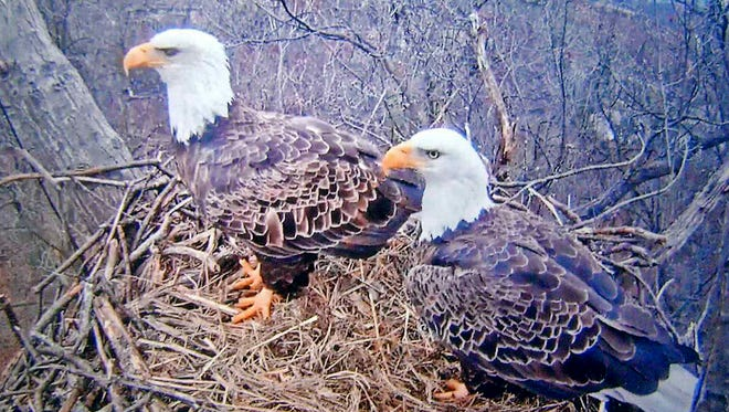 Stewart Rebert of Hanover submitted this screen grab from the Pennsylvania Game Commission live website of eagles checking the nest at Codorus State Park in Hanover for the first egg to be laid soon.