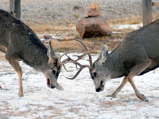 The buck at left already exhibits blood on his mouth