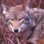 Police: Long Valley coyote had rabies