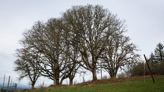 Oak trees that have been cleared of ivy in the Bethel Heights Vineyard on Thursday, March 23, 2017. Vineyard owners Ted Casteel and Pat Dudley are among other owners and land managers who are pledging to sign the Oak Accord  and slow the decline of oak habitats in the Willamette Valley through creating, restoring and protecting areas with native oak.