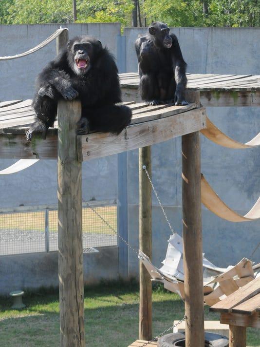 -SHRBrd_08-20-2013_Times_1_A001~~2013~08~19~IMG_SHR_0820_chimp_haven_1_1_IB4.jpg