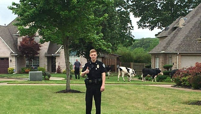 Bartlett police spent Saturday rounding up cows in a Bartlett neighborhood.